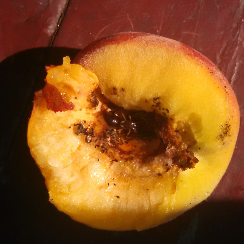 Split open the first peach of the year from my tree. Summer. Ruined.